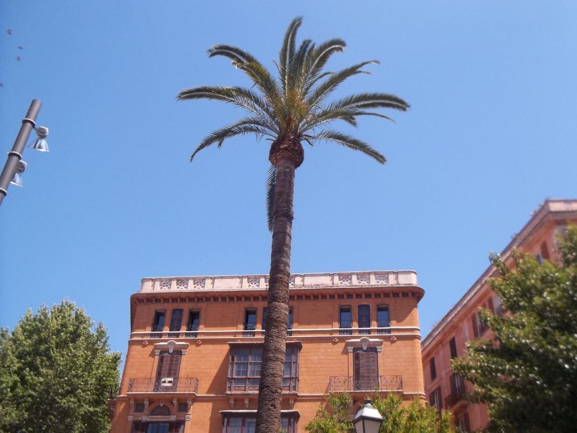 Eine Palme in Palma de Mallorca